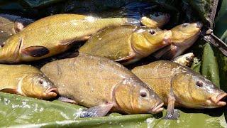 Попал на раздачу царской рыбы Ловля трофейного линя на кормаки