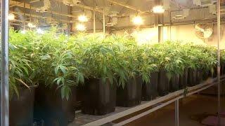 Legales Cannabis: US-Firmen wollen auf dem deutschen Markt kräftig mitdealen