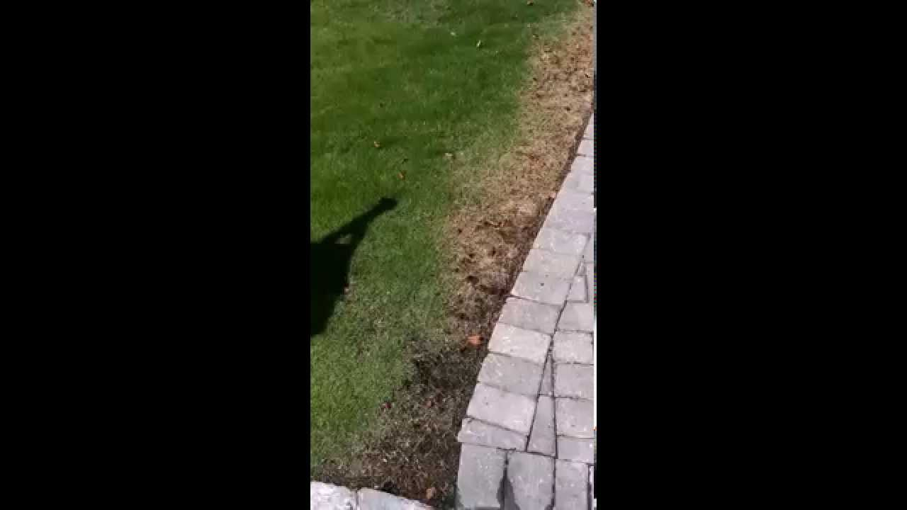 lawn care customer with week roots and past winter injury youtube