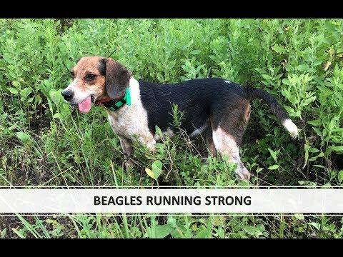 Beagles Running Strong Benson S Kennel Youtube