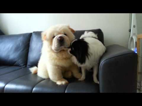 Cute chow chow and japanese chin puppies