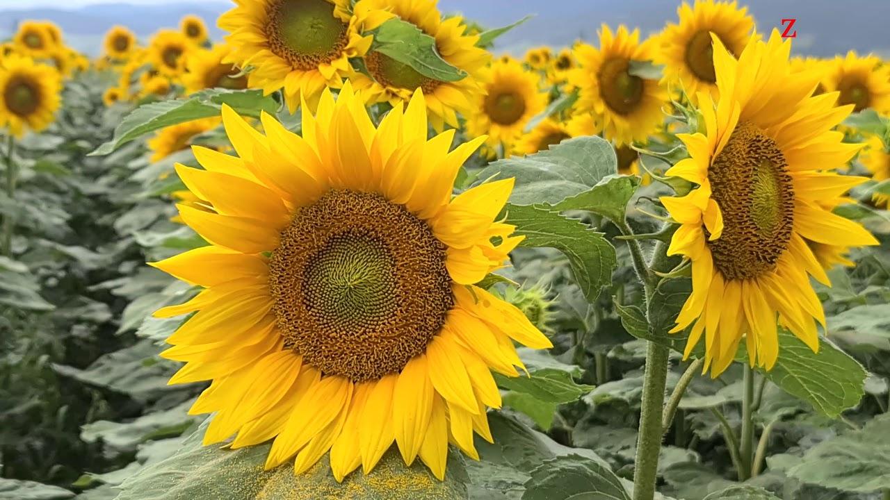 Lan de Floarea Soarelui, mereu în cautarea celui mai strălucitor astru