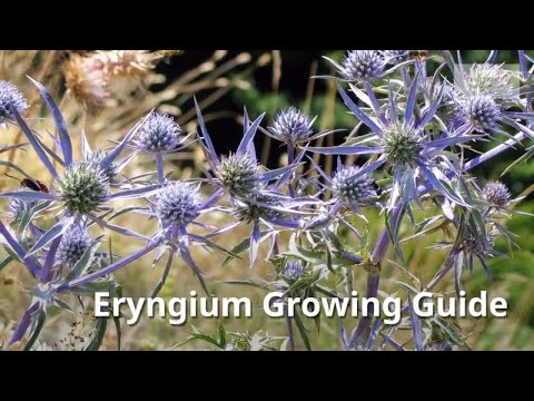 Eryngium Growing Guide (Sea Holly) by GardenersHQ