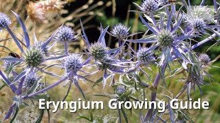 Video Eryngium Growing Guide (Sea Holly) by GardenersHQ download MP3, 3GP, MP4, WEBM, AVI, FLV Juli 2018