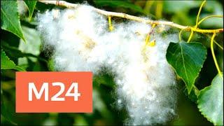 Смотреть видео Аллергики, держитесь! Тополиный пух появился в столице - Москва 24 онлайн