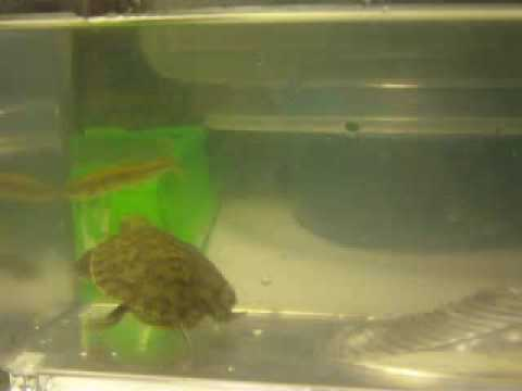 Baby Turtle (RES) Eats Live Feeder Fish