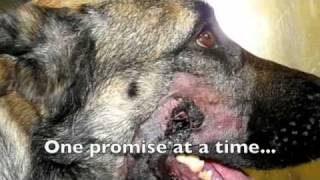 Westside German Shepherd Rescue Of Los Angeles Rescue Video