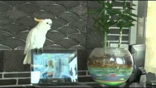 Papagai singt Gangnam style!