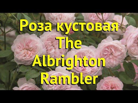 Роза кустовая Зе Олбрайтон Рамблер. Краткий обзор, описание характеристик The Albrighton Rambler