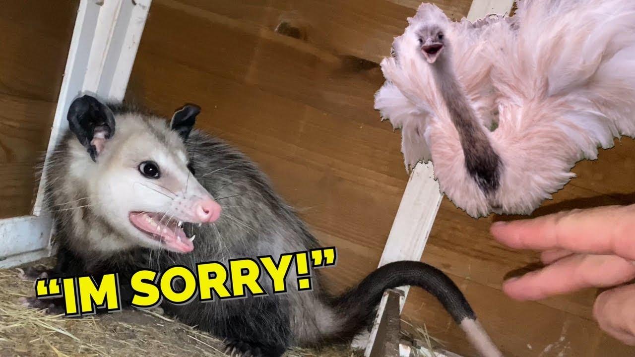 How to Make an Opossum Apologize (for eating your wife) *Emotional*