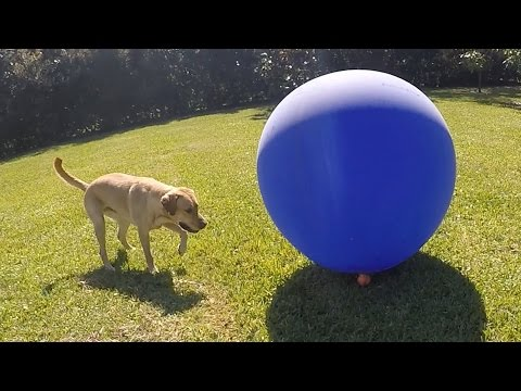 Dog Reacts to a Gigantic Balloon
