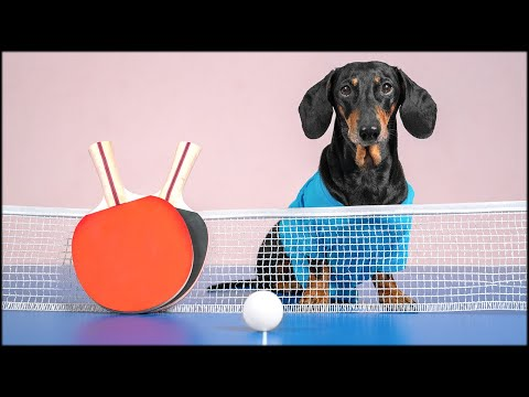 There Can Be Only One! Cute & funny dachshund dog video!