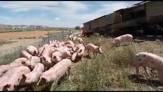 Un camión cargado de cerdos vuelca en la AP-68, en Torres de Berrellén (Zaragoza)