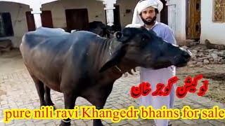 Watch pure nili ravi Khangedr bhains for sale at home location gujjar khan July 28, 2020