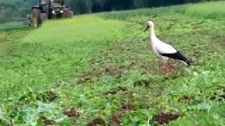 2 Störche laufen hinter einen Trecker und werden von einen Kibitz attakiert