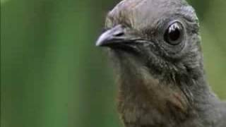 The Amazing Lyrebird of Australia - Unseen Footage