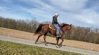 Scootin' Sara. Very fast standardbred mare for sale, rides a ring and trail rides. Speed racking.