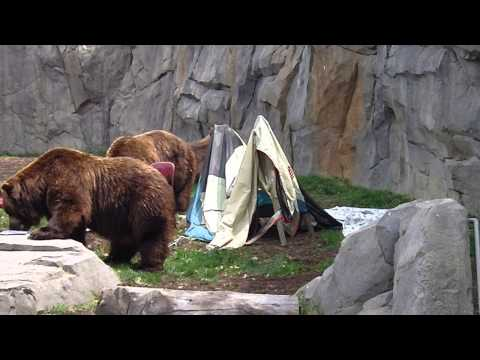 What not to do camping /Brookfield Zoo Bear Demo
