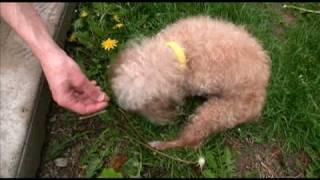 Adopted! Walter, Senior Miniature Poodle Dog For Adoption