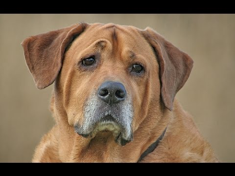 Broholmer - Dog Breed
