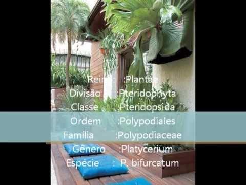 Chifre-de-veado - Seminário completo sobre a Platycerium bifurcatum .