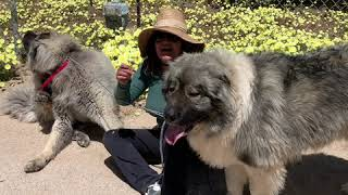 Adriana Trains Dogs:Caucasian Shepherd Dog