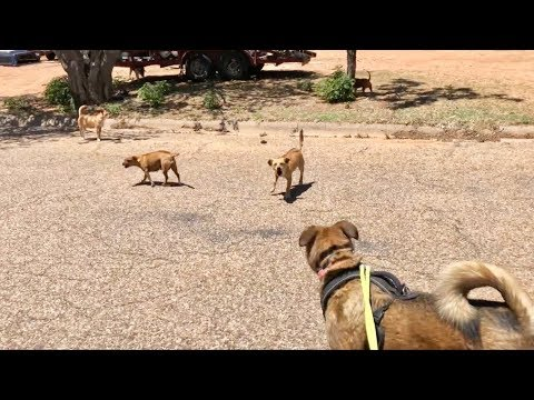 Belgian Malinois Mix and Off Leash Dog Pack