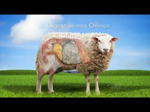 Curso Formulação e Fabricação de Ração para Ovinos na Fazenda - A Digestão nos Ovinos