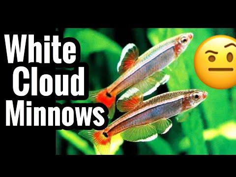 White Cloud Minnow Fish Care & Tank Mates