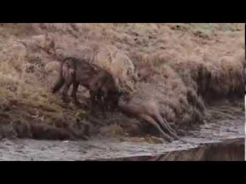 Wolf Ecology: Canyon Wolf Pack in Yellowstone