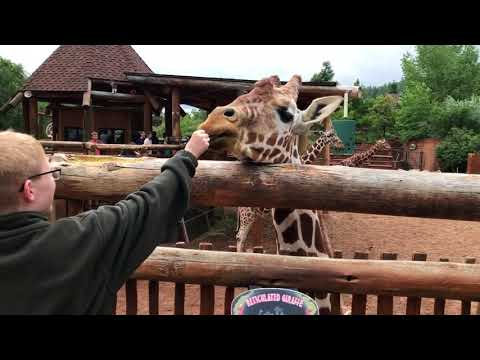 08 11 17 Feeding the Giraffes at Cheyenne Mountain Zoo