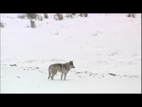 Yellowstone National Park - Generation of the Wolf