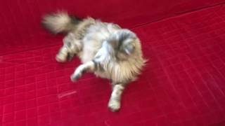 Mèo May Mắn - Adult cat LUCKY is playing