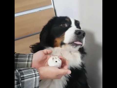 Bernese Mountain Dog afraid of a hamster