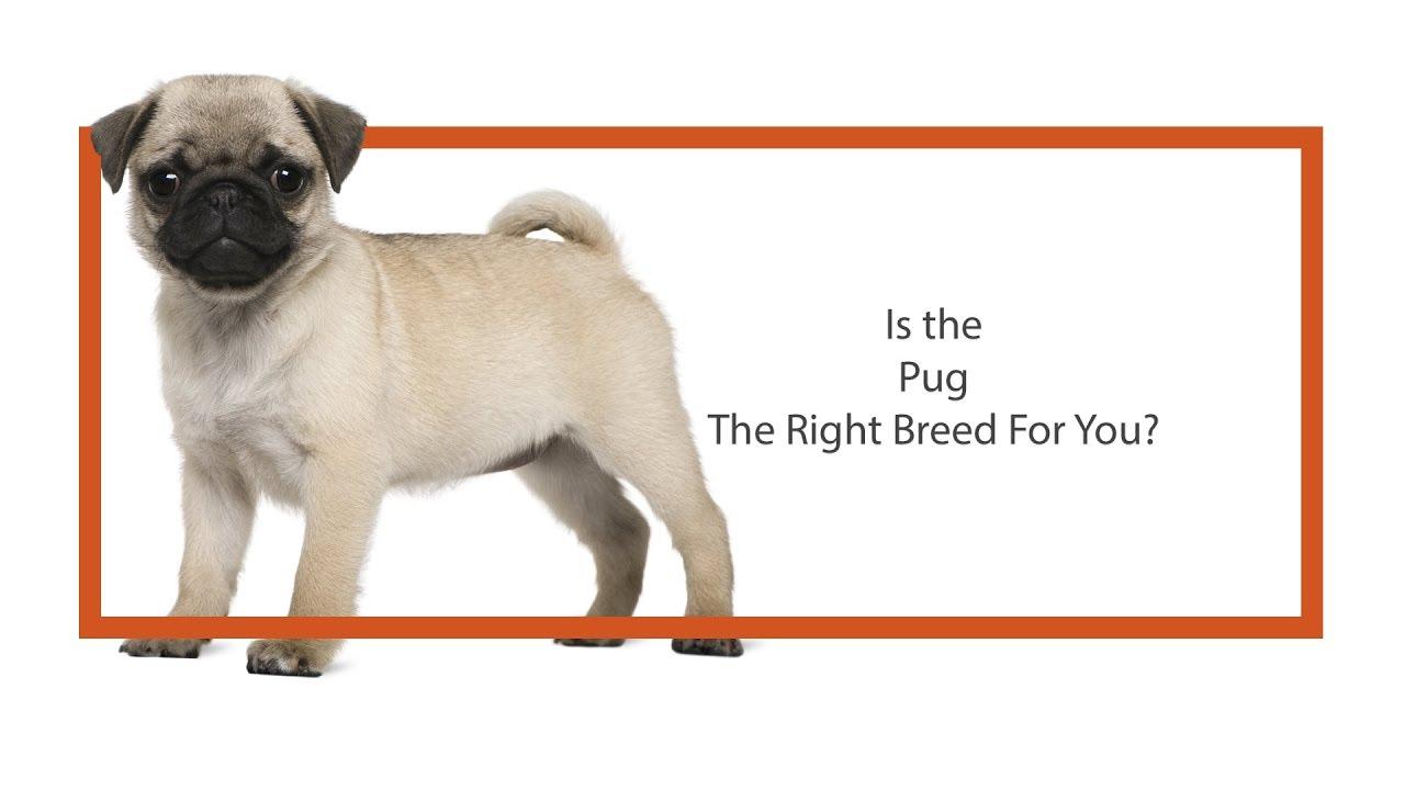 Pug Puppies Breed Info - Petland Ft Myers