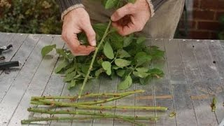 how to grow rose from cutting