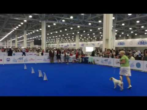 WORLD DOG SHOW 2016 Parson russell terrier Class: Champions