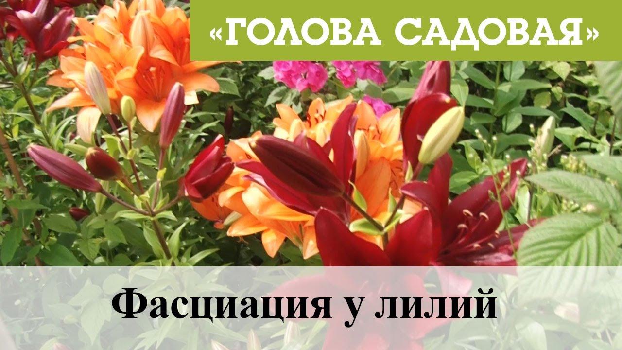 Голова садовая - Фасциация у лилий