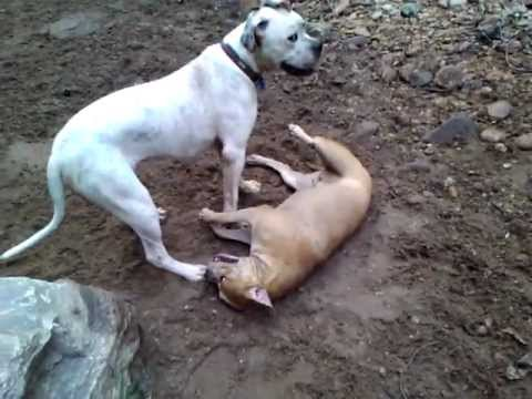 American Bulldog and Staffordshire Bull Terrier - YouTube