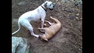 American Bulldog And Staffordshire Bull Terrier
