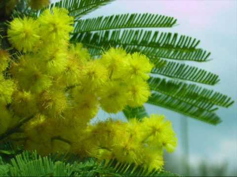 Mimosa- Nicolò Fabi