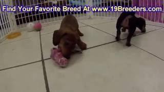 Miniature Dachshund, Puppies, For, Sale, In, Anchorage, Alaska,AK, Fairbanks, Juneau, Eagle River