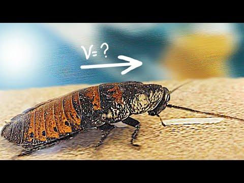 Вопрос: Какого максимального размера может достичь обычный рыжий таракан?