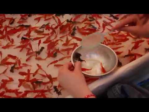 Goldfish Scooping (Kingyo-sukui) In Japan (051817)