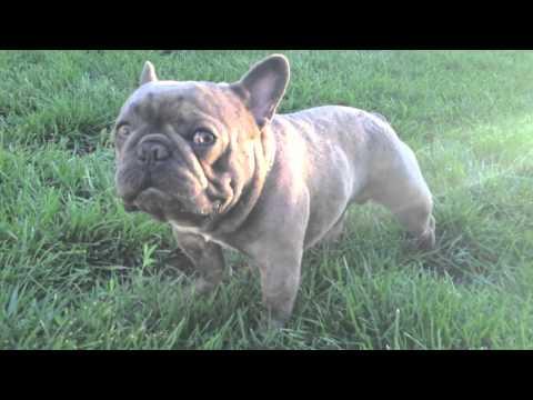 Amazing Blue French Bulldog Stud | Brads Bullies | Micro Machine