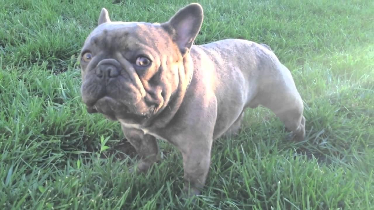 Amazing Blue French Bulldog Stud Brads Bullies Micro