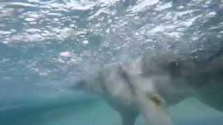 Wolf Hybrid Dog & Labrador Retriever Play In Swimming Pool