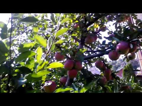 плодоношение яблони после обрезки