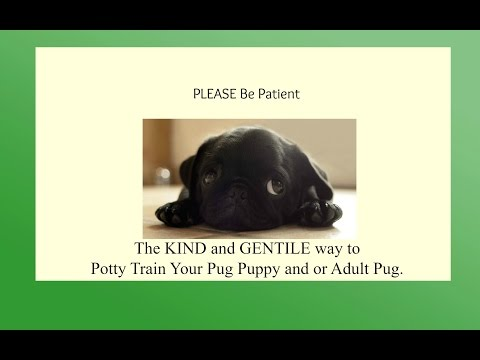 How To Potty Train A Pug Potty Training Pug Puppies - How to Potty Train Your Pug Quickly and Easily
