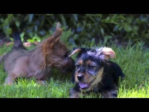 Arista Australian Terrier Puppies Grow Up